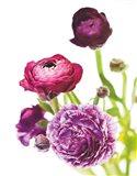 Spring Ranunculus VI