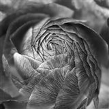 Ranunculus Abstract II BW