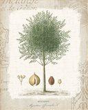 Garden Trees I - Nutmeg Tree