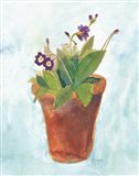 Primulas in Pots on Blue III