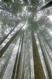 Fir Trees II