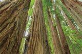 Redwoods Forest IV