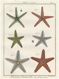 Histoire Naturelle Starfish II