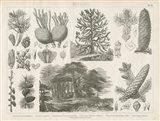 Pine Tree Botanik