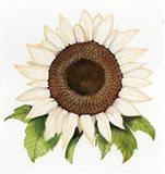 Autumn Elegance White Sunflower