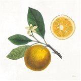 Classic Citrus II