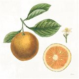 Classic Citrus IV