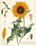 Sunflower Chart on Ivory