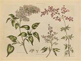 Herbal Botanical I