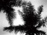 Palm Tree Looking Up I