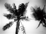 Palm Tree Looking Up II