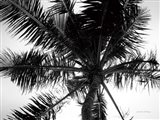 Palm Tree Looking Up III