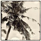 Palm Tree Sepia II