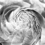 Ranunculus Abstract II BW Light