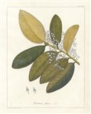 Botanical Heritiera v2