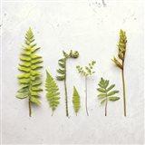 Flat Lay Ferns III