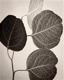Eucalyptus Sepia