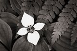 Bunchberry and Ferns I BW