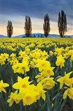Skagit Valley Daffodils I