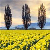 Skagit Valley Daffodils II