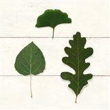 Leaf Chart III Shiplap