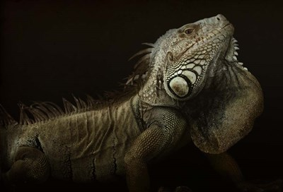 Iguana Profile Poster by Aleksandar Milosavljevic for $45.00 CAD