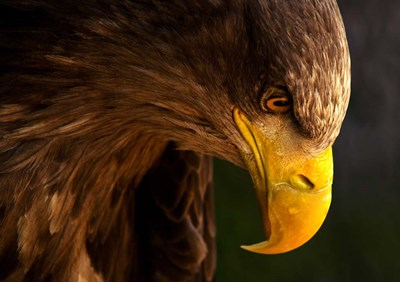 Eagle Pursues Prey Poster by Adriana K.H. for $46.25 CAD