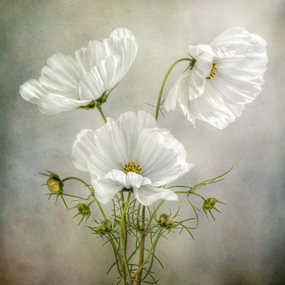 Cosmos Charm Poster by Mandy Disher for $35.00 CAD