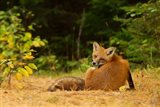 Red Fox - Algonquin Park