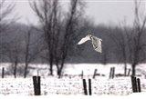 A Snowy Snowy Owl