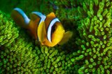 Yellow Clownfish On Green Anemon