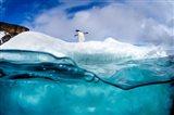 Adelie Penguin On Iceberg