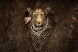Leopard Resting On A Tree At Masai Mara