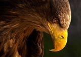 Eagle Pursues Prey