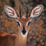 Steenbok, One Of The Smallest Antelope In The World