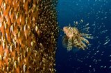 Lion Fish Staring At Its Lunch