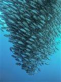 Schooling Jackfishes