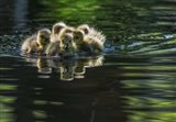 Cute Baby Canada Geese