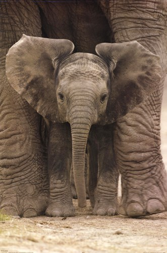 Big Ears (Baby Elephant) Poster by Unknown for $13.75 CAD