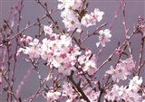 Spring Blossom - Pink
