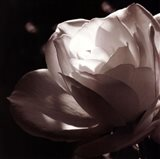 White Rose II