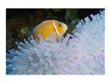 A Clown Fish, Nananu-I-Ra Island, Fiji