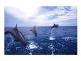 Bottle-Nosed Dolphins Leaping
