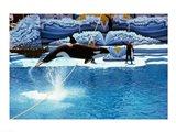 Shamu-Killer Whale Sea World San Diego California USA