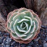 Poetic Succulent Square I