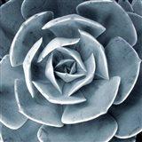 Blue Echeveria I