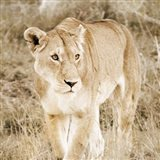 Lioness in Kenya (sepia)