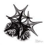 X-ray Starfish & Sand Dollar BW Art Print