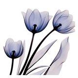 Brilliant Night Tulips C68 Art Print