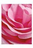 Rose Nahbereich Art Print